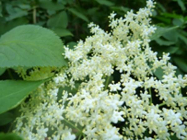 ●カウンセラーのつぶやき● ~花粉が和らぐハーブ「エルダーフラワー」~